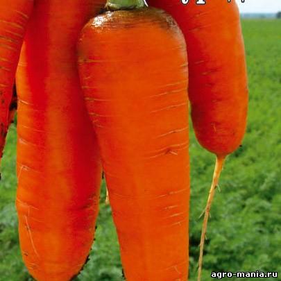 Морковь курода
