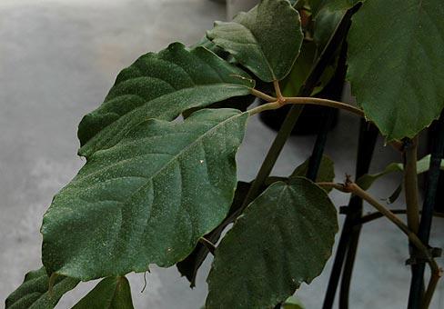 Тип растения лиана или ампельное